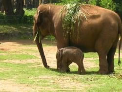 Elephant with its baby - Picture taken at Mysore Zoo, India