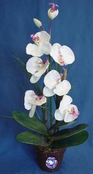 orchidea - orchidea