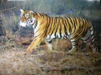 Tiger at Bandipur Reserve Forest - Photographed at Bandipur, Mysore