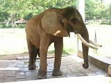 Elephant at Mysore Zoo - Photographed at Mysore Zoo, India