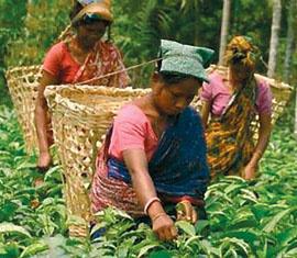Tea plant - Tea plant