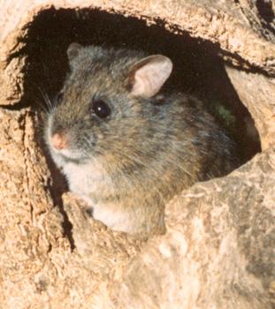 Rat - Rat