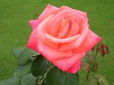 ROSE - Symbol of love - Photographed at a garden - potted plant and flower