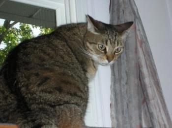 TOBY - DOMESTIC INDOOR CAT
