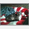 Fred the patriotic cat - Fred loves his flag blanket. He sleeps with it every night.