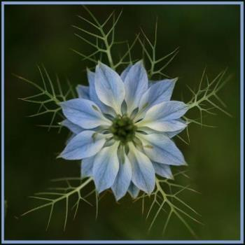 love in the mist - A PHOTO OF A BEAUTIFUL FLOWER!