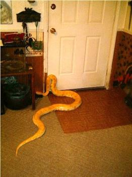 My Hubby's snake - She wants to go for a walk?