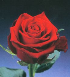 Red rose - ^__^