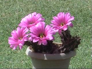 Beautiful flowers on Cactus ! - Cactus though it is aXerophyte with full of hardships to blooms with beautiful colored flowers.They are very beautiful, attractive and brillient !