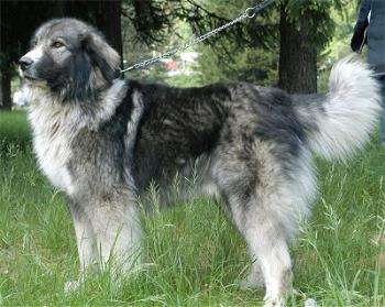 Carpatin - Romanian Carpatin - sometimes used as a sheepdog.