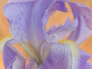 Bearded Iris - Bearded Iris