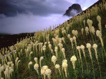 Blooming Beargrass and a Clearing Storm, Logan Pas - Blooming Beargrass and a Clearing Storm, Logan Pass, Glacier National Park, Montana