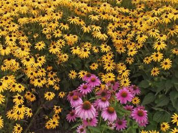 Brown-Eyed Susans and Purple Cone Flowers - Brown-Eyed Susans and Purple Cone Flowers