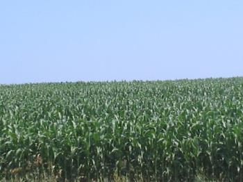 corn - This is an iowa cornfield.