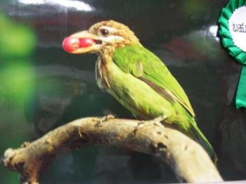 Parrot - Photographed at Mysore zoo