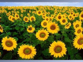 Sunflowers - Sunflowers