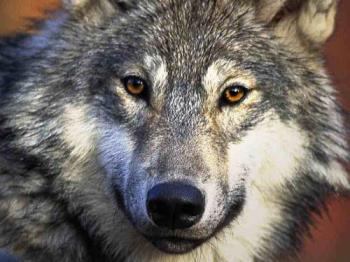 Wolf - wolf  cretids: http://fohn.net/wolf-pictures-facts/