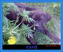 Kane - My cane corso Kane