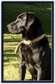 black lab - Black lab dog