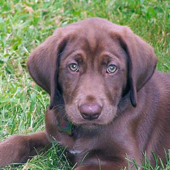 Chocolate Lab Pup - My pup at 3 months old.