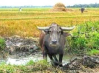 Carabao - Carabao is the Philippine National Animal usually used in farming.