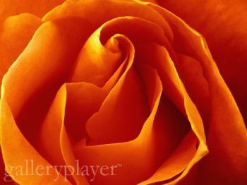rose - flower of rose