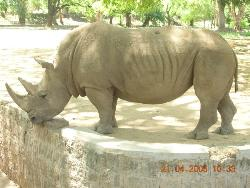 Rhinoceroes at Mysore Zoo, India - Photograph of Rhinoceroes taken at Mysore Zoo