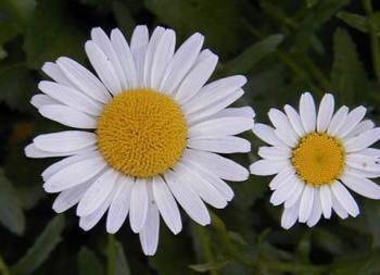 Daisy - Daisys