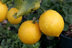 Lemons - Fresh lemons on the tree that gives so much benefit to human health. They are a vital source of Vitamin C and citric acid.