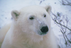 I found a polar bear - I found this little rascal roaming around so I made friends with him and brought him to visit.
