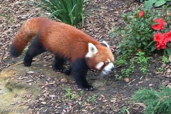 pleasant one.... - red panda