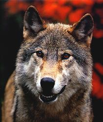 red wolf - real picture of a red wolf
