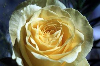 rose - yellow rose-a symbol of friendship
