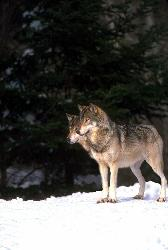 2 gray wolves - 2 heads are better than one.