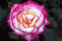 rose - rossy rose