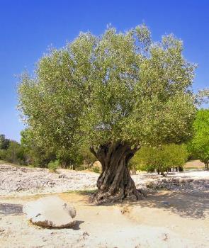 olive tree - olive trees