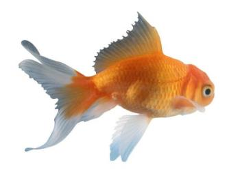 do gold fish have brains? - Do you think goldfish have brains