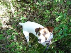 Toby - Jack Russell