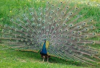 Peacock - The peacock is a bird found in Sri Lanka.