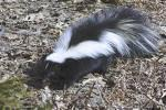Skunk - Skunks are the smelliest creatures you will ever encounter.