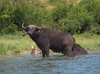 buffalo - buffalo, one of our big 5 wild game