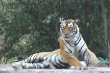 Tiger - I hate Tiger. I don't like tiger.