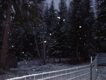 my yard - Snow falling on the trees in my yard.