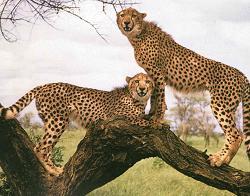 cheetah at Mysore zoo, India - Photographed at Mysore zoo, India