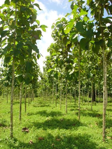 Teak plantation - Nice world