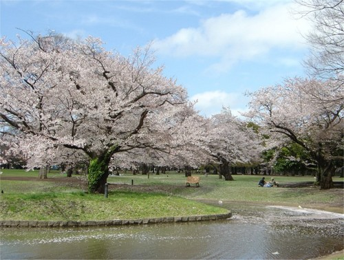 sakura tree - Beautiful