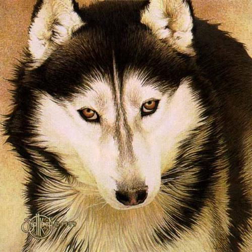 syberian husky - a beautiful dog...