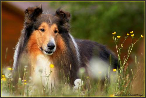 Collie - i love this race and in future i would like to have a dog like this. it is so beautiful, isn't it?it look like a queen/king. i love it. and you? do you love this race too?