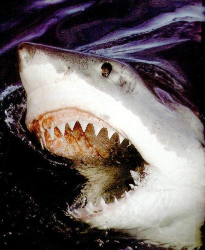 SHARK - SHARK