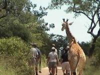 Guide with tourists followed by a young giraffe